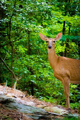 Doe Eyed  Animal Photography  Coosawattee River Resort Ellijay GA  Leslie Byrd Photography